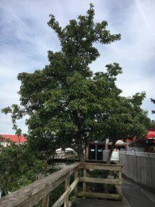 pear tree on the dock salt spring island